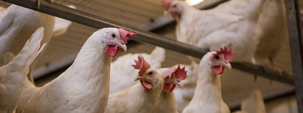 Poultry & feed concentrates of premium quality